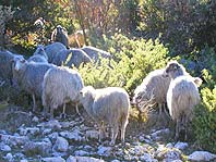 Sheeps and lambs - traditional economy on Brac